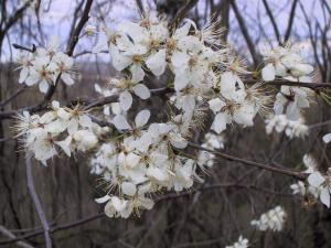 Serviceberry 2 (Large)